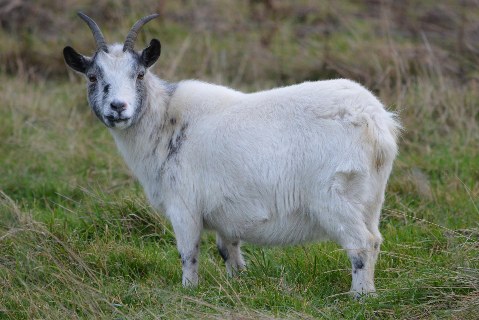 ヒツジとヤギの除草効果、太陽光発電に生かす